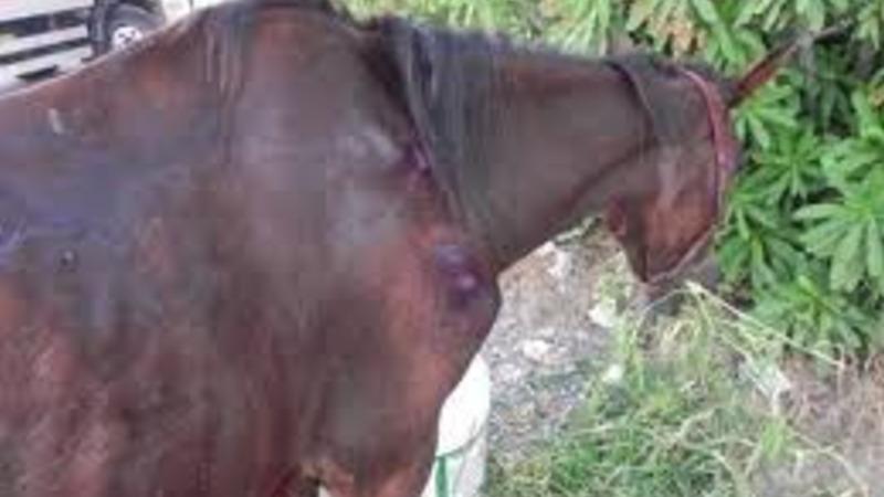 Cavalo espancado