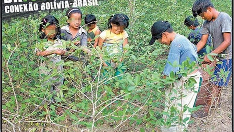 Como crian as cultivam a folha de coca.
